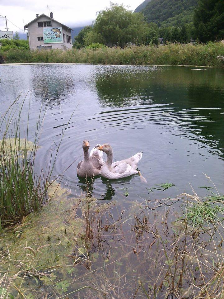deux oies sur le lac
