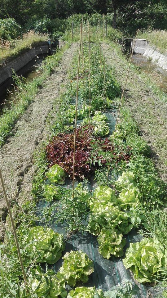 entre les bassins, les salades sont prêtes !